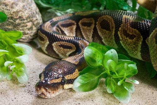 burmese python cage