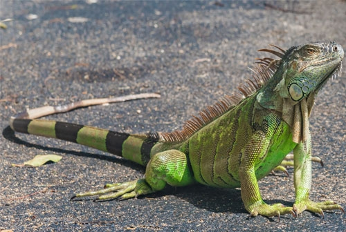 green iguana enclosures