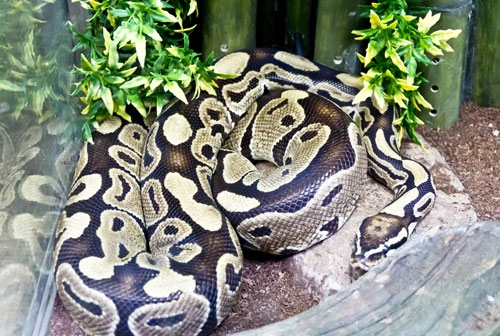 reticulated python enclosure