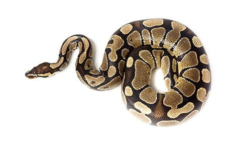 Python curled up