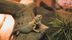 Bearded Dragon in Cage
